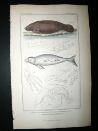 Cuvier C1835 Hand Col Print. American Lamantin Or Sea Cow, The Dugong #61